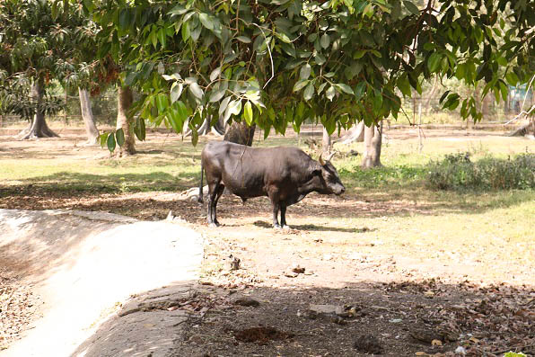Dwarf cow inside Kano Zoo